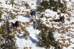Chamois herd Royalty Free Stock Photography