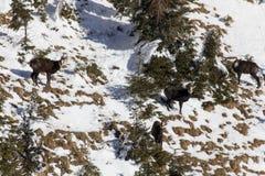 Chamois herd Stock Photo