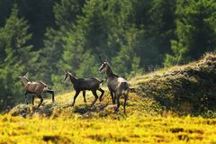 Chamois herd in the mountains Stock Image