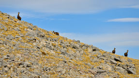 Chamois in high mountain Royalty Free Stock Photo