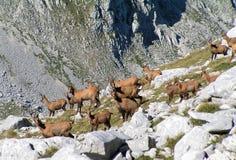 Chamois on high mountain Stock Photo