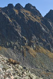 Chamois in High Tatra Mountains, Western Carpathians Stock Image