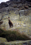 Chamois, High Tatras Stock Photos