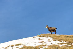 Chamois on hill Stock Photo