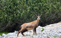 Chamois with horns on his head, surrounded by high mountains Stock Image