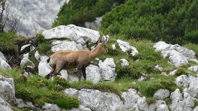 Chamois ina mountain rocky terrain