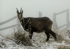 Chamois royalty free stock images
