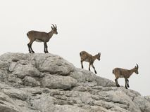 Chamois in Julian Alps Royalty Free Stock Photos