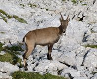 Chamois in Julian Alps Royalty Free Stock Image
