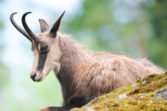 Chamois (lat. rupicapra de rupicapra) Photos stock