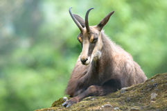 Chamois (lat. rupicapra de rupicapra) Photo stock
