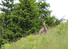 Chamois on the lawn in the european mountains in summer Royalty Free Stock Photos