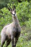 Chamois : le mâle a trouvé dans les buissons Image libre de droits