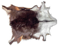 Chamois leather. Shammy with fur serves as a decoration on the white wall Stock Photos
