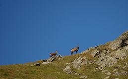 Chamois with little chamois in late evening light. On a slope in Carpathians mountains Stock Photo