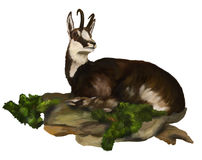 Chamois is located in the grass Stock Images