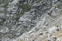 Chamois looking down a rock cliff royalty free stock photos