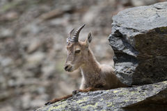 Chamois. A chamois lying on the rocks. Close portrait clearly showing fur and horns Royalty Free Stock Photography