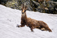 Chamois male cooling off in the snow Stock Image