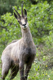 Chamois: male found in the bushes. Featured chamois (Rupicapra rupicapra) spring coat mutation. Italy, Orobic Park, Bergamo Royalty Free Stock Image
