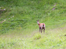 Chamois on the meadow in the high mountains in summer Royalty Free Stock Photo