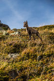 Chamois mignon restant sur les Colline-alpes raides, Frances Images libres de droits