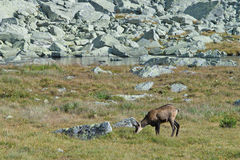 Chamois at Mlynicka dolina in High Tatras Stock Images