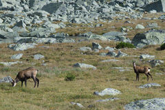 Chamois at Mlynicka dolina in High Tatras Royalty Free Stock Images
