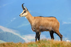 Chamois in mountain Stock Photo