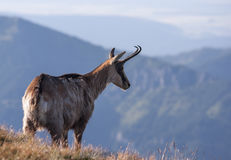 Chamois in mountain environment. Stock Images