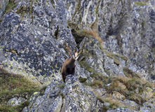 Chamois - mountain goat - looking down from a rock. Royalty Free Stock Photo