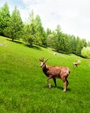 Chamois in the mountain meadow Stock Photo