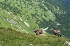 Chamois on the mountain ridge Royalty Free Stock Photography
