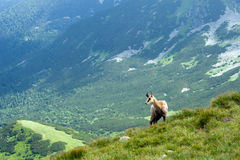 Chamois on the mountain ridge Royalty Free Stock Photo
