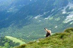 Chamois on the mountain ridge Royalty Free Stock Photo