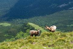 Chamois on the mountain ridge Royalty Free Stock Photos
