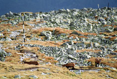 Chamois at mountains. On September Stock Photography