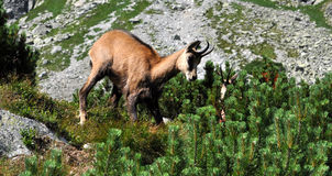 Chamois in the mountains Stock Photo