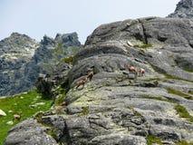 Chamois in the mountains Stock Photos