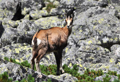 Chamois in the mountains Stock Image