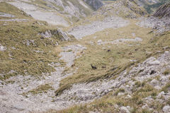 Chamois in the mountains Stock Photography