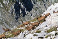 Chamois on the mountains Royalty Free Stock Photos