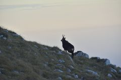 Chamois in mountains Royalty Free Stock Photo