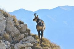 Chamois in mountains Royalty Free Stock Photography