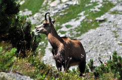 Chamois in the mountains Royalty Free Stock Photo