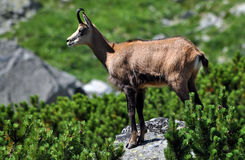 Chamois in the mountains Royalty Free Stock Photos