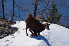 Chamois in mountais Royalty Free Stock Images