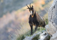 Chamois in the National Park of Abruzzo Stock Image