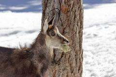Chamois in the National Park, Aosta Royalty Free Stock Photos