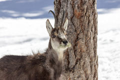 Chamois in the National Park, Aosta Stock Images